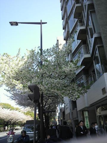 sakura_20110412.jpg